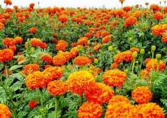 Marigold Extract Lutein 5%, 20%, 80% By HPLC
