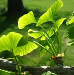 Ginkgo Biloba Extract- Flavone Glycosides & Terpene Lactones
