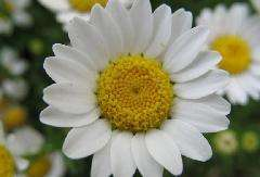 Supply white Chrysanthemum ester 0.3-1